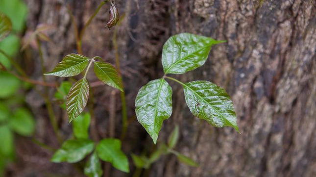 Top 3 Poison Ivy Remedies